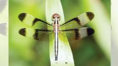 Dragonflies, the forgotten indicators of the ecosystem's good health