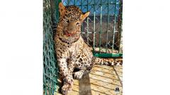 Leopard rescued by Forest Department and Wildlife SOS