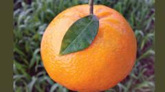 Demand for kinnow fruit rises in Pune