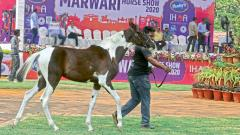 Did you know that India has five indigenous horse breeds?