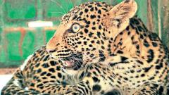 Leopard rescued in Junnar