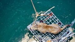 Drowning leopardess saved by forest dept, Wildlife SOS
