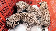 3 leopard cubs reunited with mother