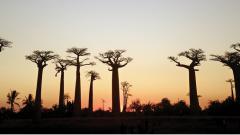 The iconic Avenue of Baobabs at sunset