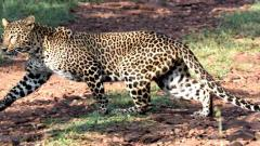 Infant killed in suspected leopard attack