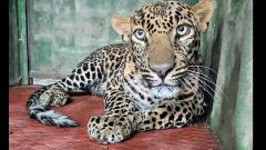 1-yr-old critically injured leopard rescued