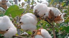 Cotton procurement taking place through MSP