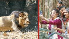 Lion Pavan awes visitors at Katraj Zoo