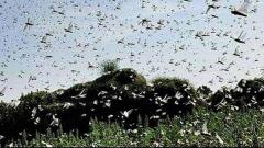 Locust swarms invade MP's Balaghat from Maharashtra