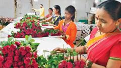 Maval rose growers gear up for V-Day