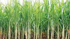Rainfall in State delays crushing of sugarcane