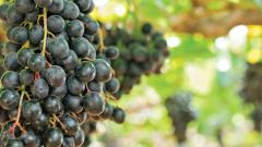 Grape exports in Maharashtra down due to unseasonal rains