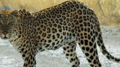 Leopard allegedly sighted in Aundh, creates panic