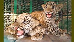 Two leopard cubs rescued from well