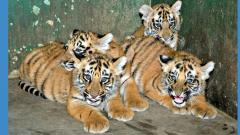 Four tiger cubs soon to woo visitors