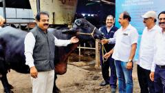In a first for the country, 9 IVF pregnancies in buffaloes at farm level successful