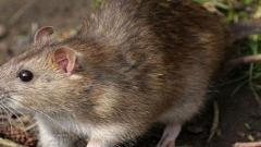 Bubonic plague: Authorities in Chinese region of Inner Mongolia on high alert