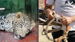 Leopard caught in jaw trap rescued in Ahmednagar