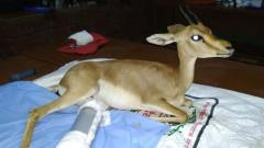 Pune's Ela Foundation rescues pregnant chinkara from dogs