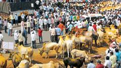 Massive protest against bullock cart race ban