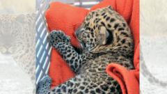 Wildlife SOS reunites leopard cub with mother in Junnar