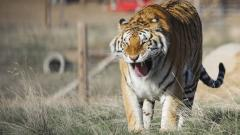 Coronavirus United States: Tiger tests positive at Bronx zoo
