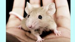 Mouse genetics vital for understanding disease, future of healthcare