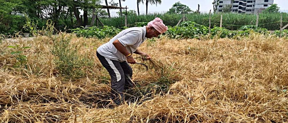 MP Srinivas Patil busy harvesting wheat in weekend lockdown