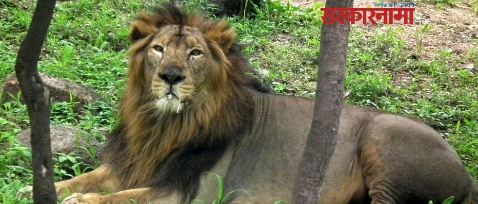 Eight lions from nehru zoological park test positive for corona virus
