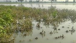 Heavy rainfall in many places of Maharashtra causes crop damage