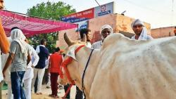 protesting farmers bring cow to police stations in haryana
