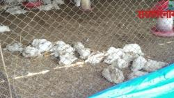 Bird flu enters Pune district, disposal of 3,500 chickens in Mavla .jpg