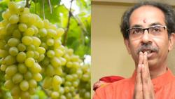 Uddhav Thakre Grapes
