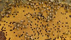 Increase in demand for honey bees